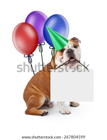 A English Bulldog puppy wearing a birthday party hat with colorful balloons holding a blank sign in his mouth - stock photo