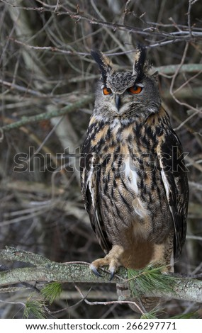 A Eurasian Eagle Owl (Bubo bubo) perched in a tree.  - stock photo