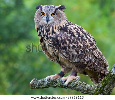 A Eurasian Eagle Owl perched on a branch. - stock photo