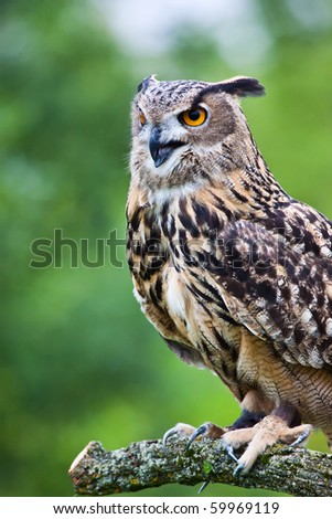 A Eurasian Eagle Owl perched on a branch, calling an alarm. - stock photo