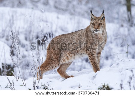 A eurasian lynx in winter - stock photo