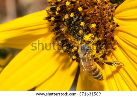 A European honeybee pollinating a Californai bush sunflower (Encilia californica) - stock photo