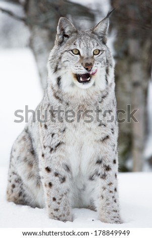 A european lynx in the winter forest. February, Norway. - stock photo