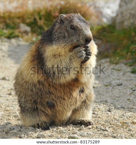 a european marmot, a member of the ground squirrel family, sitting on its haunches eating and looking very cute - stock photo