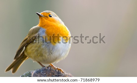 A European Robin Perched on a Log
