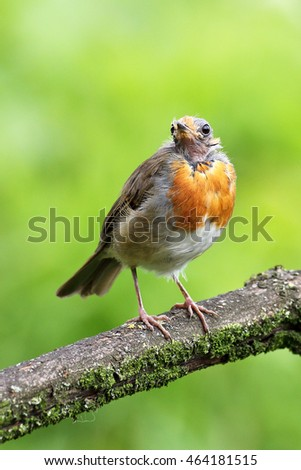 A European Robin with no head feathers perched on a tree branch in a meadow.