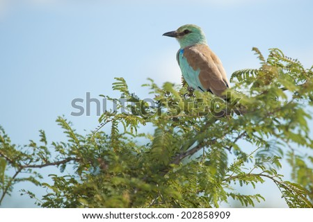 A European Roller (A Long Distance Migrant) seen here Wintering in Southern Africa on a Green Tree Branch in South Africa's Kruger National Park. - stock photo