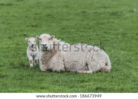 A ewe and her lamb - stock photo