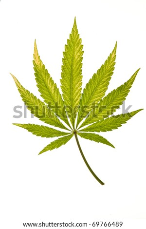 A fading cannabis leaf isolated on a white background - stock photo