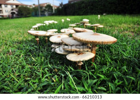 a fairy ring of mushrooms - stock photo