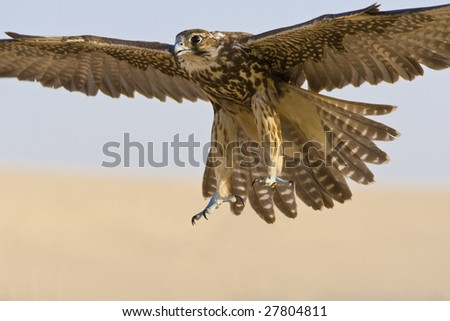 A falcon coming for the kill, shot in a middle eastern desert location. - stock photo