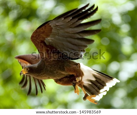 A falcon flying in a zoo. - stock photo