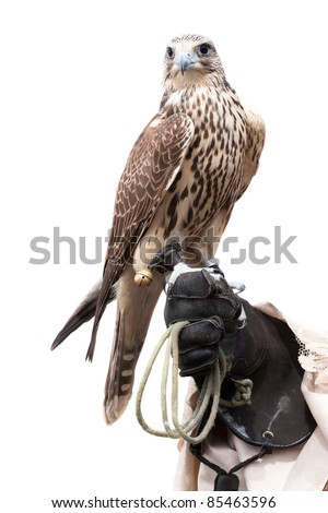 a falcon on handlers hand - stock photo