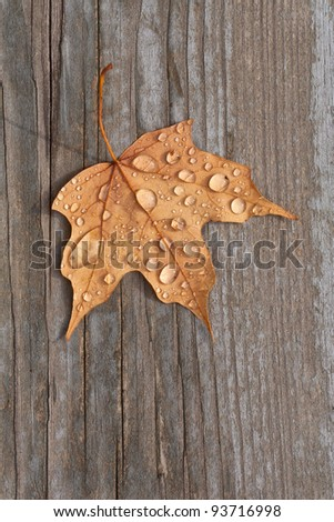 A fall maple leaf with water droplets sitting on old deck wood. - stock photo