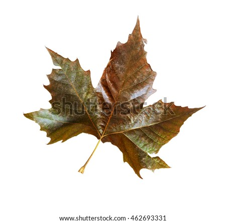 A fall Sycamore leaf with a shape easily confused with those of Maple trees.