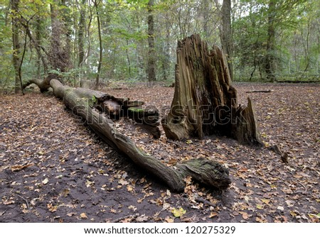 A fallen dead tree in the woods. - stock photo