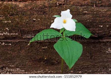 A fallen tree in the woodland provides background for a perennial wildflower. The large white petals and green leaves of the large flowered trillium make stand out next to the decayed brown trunk. - stock photo