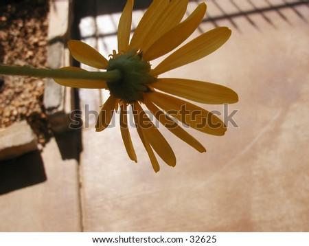A falling upside down yellow daisy. - stock photo