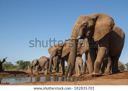 A family herd of African elephants drink from a waterhole on a game reserve in Botswana. - stock photo