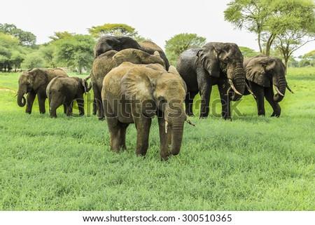 A family of African elephants in Tarangire National Park Tanzania on green grass savanna. - stock photo
