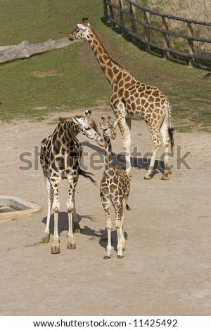 A family of african giraffes a mother kissing its child - stock photo