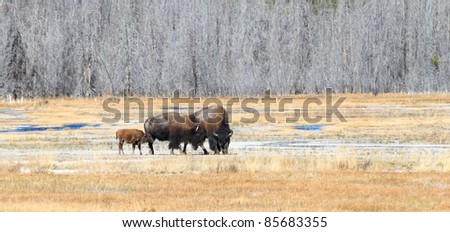 A family of American Bison standing in an open field - stock photo