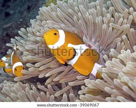 A family of clown anemonefish takes up residence among sea anemone - stock photo