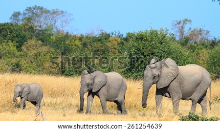 A family of different sizeD elephants walking across the plains in South Luangwa - stock photo