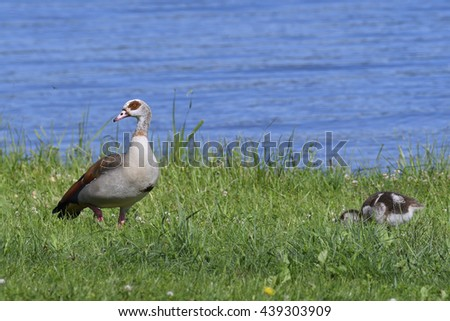 A family of Egyptian goose in the morning - stock photo
