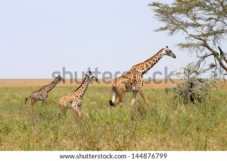 A family of giraffes (Giraffa camelopardalis) in Serengeti National Park, Tanzania - stock photo