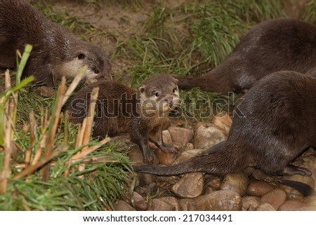 A family of Oriental Short-Clawed Otters
