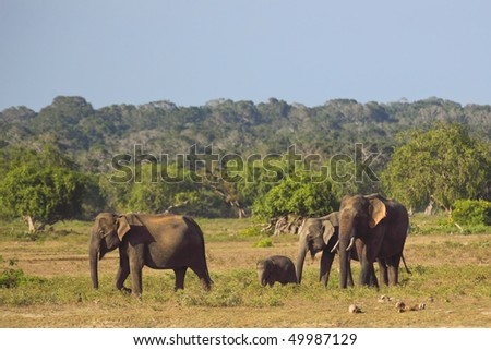 a family of sri lankan elephants including a rare tusker and a small baby in yala national park