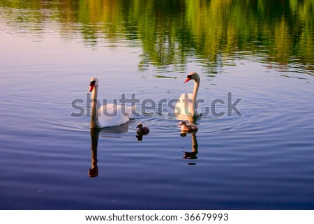 A Family of Swans on a tranquil lake. - stock photo