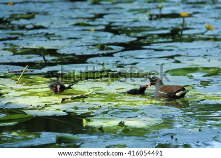 A family of waterfowl on the pond - stock photo