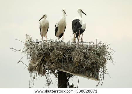 A family of White Storks (Ciconia Ciconia) on their nest on the top of a pole