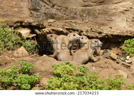 A family of young Black-Tailed Prairie Dogs outside their den - stock photo