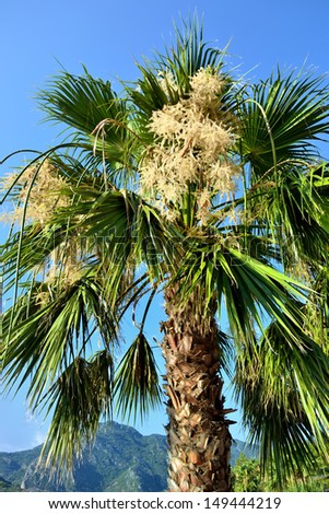 a fan palm with bunchy blooming white clusters - stock photo