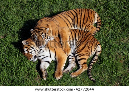 a fantastic pair of tigers sleeping in love - stock photo