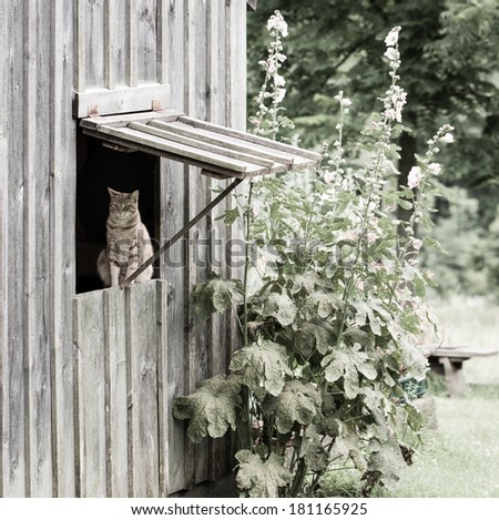 A farm cat sitting in a propped open window enjoying the outdoors. - stock photo