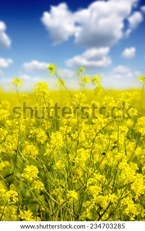 A farm of Canola in flower - stock photo