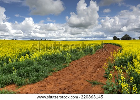 A farm of Canola in flower.   The rich red soils of the region help produce the finest canola in the country. - stock photo