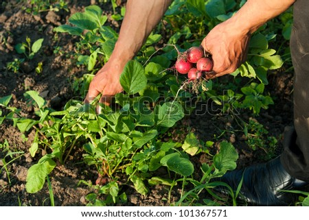 A farmer collects fresh radishes - stock photo