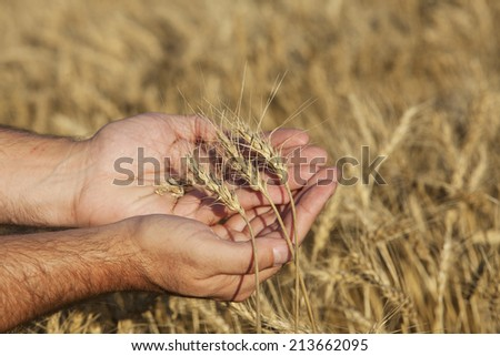 A farmer  holding a sample of this years spring wheat harvest. - stock photo