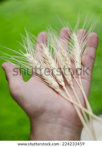 A farmer holding a sample of this years spring wheat harvest.
