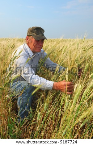 A farmer inspects a durum wheat crop that is approaching maturity for harvest. - stock photo