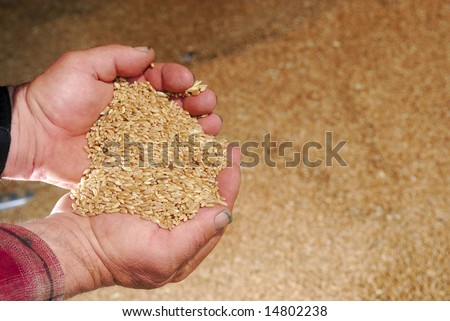A farmer inspects durum wheat from hopper of grainary.