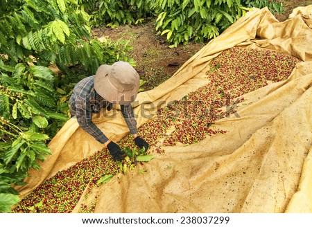 A farmer is gathering Robusta coffee in Dak Lak, one of biggest coffee growing area of Vietnam, Dak Lak produces every year over 500.000 tons of Robusta coffee for export. - stock photo
