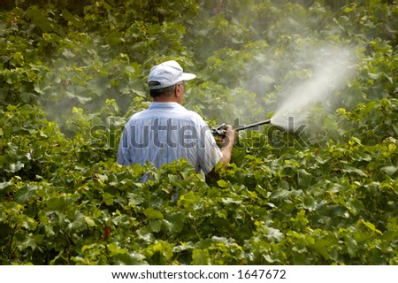 A farmer sprays his vines. He is wearing no protective equipment. - stock photo