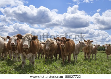 A farmers field of curious cows looking at you and wondering what you're doing. - stock photo