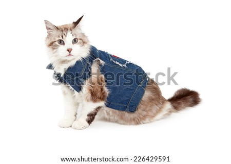 A fashionable Ragdoll Cat wearing a jean jacket while sitting at an angle.  - stock photo